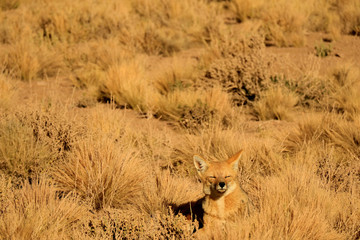 One Sleepy Andean Fox Sunbathing among Desert Brush Field, Atacama Desert of Northern Chile, South America
