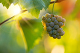 Bunch of grapes on a vineyard during sunset. - 223390803