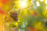 Bunch of grapes on a vineyard during sunset. - 223390851