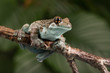 Mission Golden-eyed Tree Frog (Trachycephalus resinifictrix)/Mission Golden-eyed Tree Frog perched on thin branch