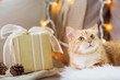 pets, christmas and hygge concept - red tabby cat on sofa with present at home in winter
