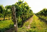 September vineyard