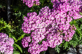 flowers of sunny pink Apple Blossom Achillea blossoming - 223407661