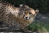 Amazing Crouching Cheetah Cat on a Flat Rock Being Watchful - 223410452