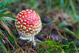 one fly-agaric mushroom in grass - 223421440