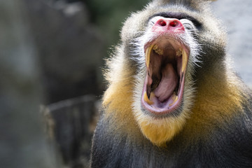 Bored mandrill yawns showing teeth