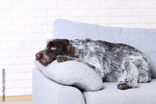Niemiecki pointeru psa obsiadanie na popielatej kanapie