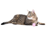 Grey cat with pink toy isolated on white background - 223423848
