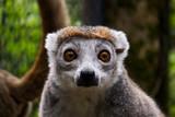 Lémur couronné - Eulemur coronatus - 223424223