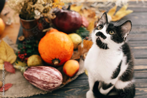 Cute cat sitting at beautiful Pumpkin in light, vegetables on bright autumn leaves, acorns, nuts on wooden rustic table. Hello Autumn. Fall season. Happy Thanksgiving concept - 223424846