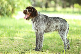 German pointer dog in the park - 223426017