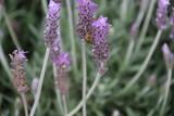 abeja en lavanda - 223432602