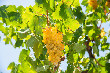 Archanes region juicy Soultani grapes ready to harvest  in Heraklion, Crete,