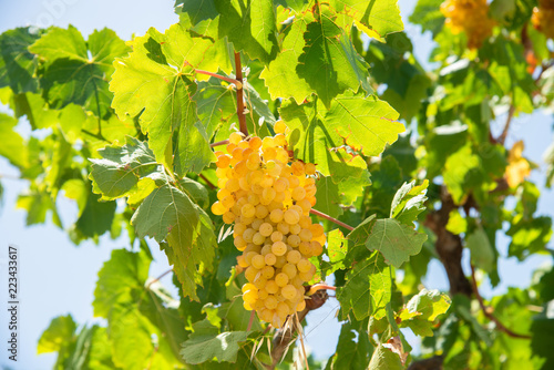 Leinwanddruck Bild Archanes region juicy Soultani grapes ready to harvest  in Heraklion, Crete,