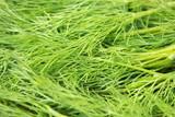 fresh green dill. raw herb. - 223436835