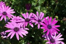 """Постер, картина, фотообои """"Purple flowers among the green leaves."""""""