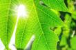 Leinwandbild Motiv Papaya leaves background light green morning bright comfortable.