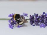 Hummel, Hummeln, bombina terrestris, Blume, Lavendel, Bestäubung, Naturschutz, Honigbees, insecta, blume, makro, honig, natur, blütenstaub, tier,  gelb, black, sommer, bestäubung, close up, flügel, is - 223456226