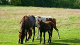 three brown horses, looking in the camera - 223456435