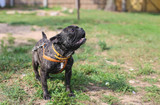 black thoroughbred french bulldog for a walk on the lawn. - 223456625