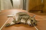 lazy tabby cat - 223465841