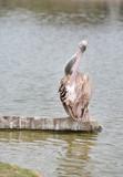 Portrait of Pelican (Pelecanus crispus) in the nature.