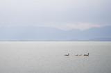Canada Geese on Flathead Lake - 223472038