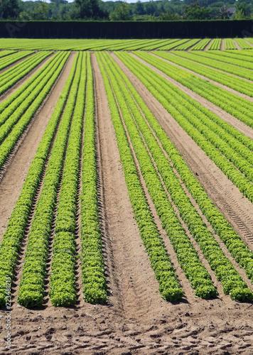 Foto Murales field with many lettuce heads