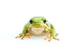 green european common frog Hyla meridionalis on white background - 223488401