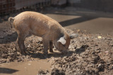 little dirty cute piggy looking for food, rummaging in a puddle - 223489002