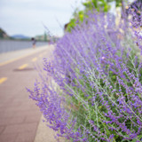 Lavender lilac bush grows on the roadside - 223489436