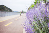 Lavender lilac bush grows on the roadside - 223489441