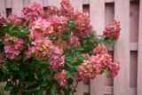 pink hydrangea against the fence - 223499493