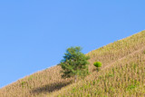 Typical mountain agriculture with corn growing with blue sky in the background in Nan Province in Thailand