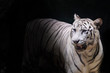 White tiger with black background