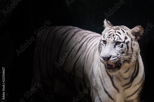 Biały tygrys z czarnym tłem
