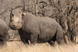 Wild black rhino in natural environment, full body - 223508407