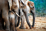 Adult elephants protecting young elephant, Addo National Elephant Park, South Africa