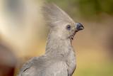 African Grey Go-Away Bird portrait