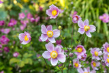 Delicate pink Anemone flowers, with a shallow depth of field - 223532676