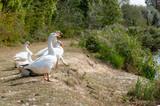 Goose at the lake - 223550272