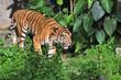 Gesture of tiger