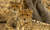 cheetah cubs - 223559834