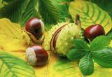 Horse chestnuts on autumn foliage - 223562097