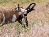 American pronghorn antelope on a meadow in National Bison Range, a wildlife refuge in Montana, USA - 223565255