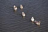 Gans Schwimmen Lahn Weilburg Gänse Fluss - 223568469