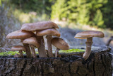 mushrooms - Armillaria solidipes in a forest close up - 223593254