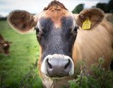 A close up portrait of a the head, nose, eyes and ears of a  brown dairy cow with ownership tag in its ear whilst in a green field.