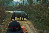 Rhino crossing a jungle road in Chitwan National Park, Nepal - 223612410