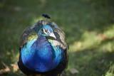 Pfau blau Kopf bunt Gefieder schilernd